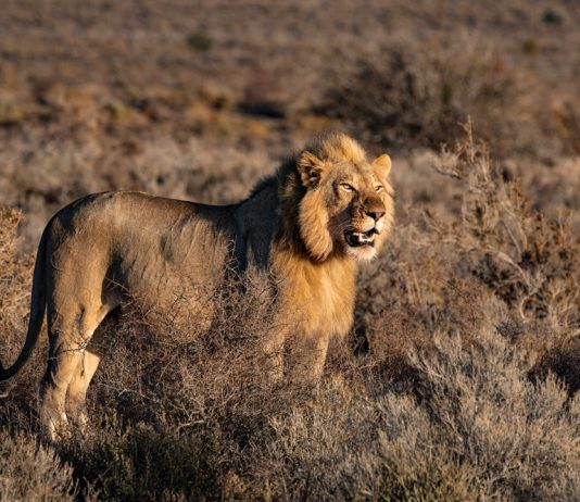 lav priroda